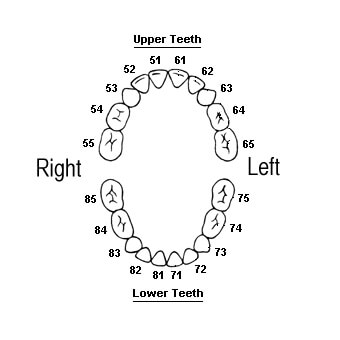 australian teeth numbers for baby teeth