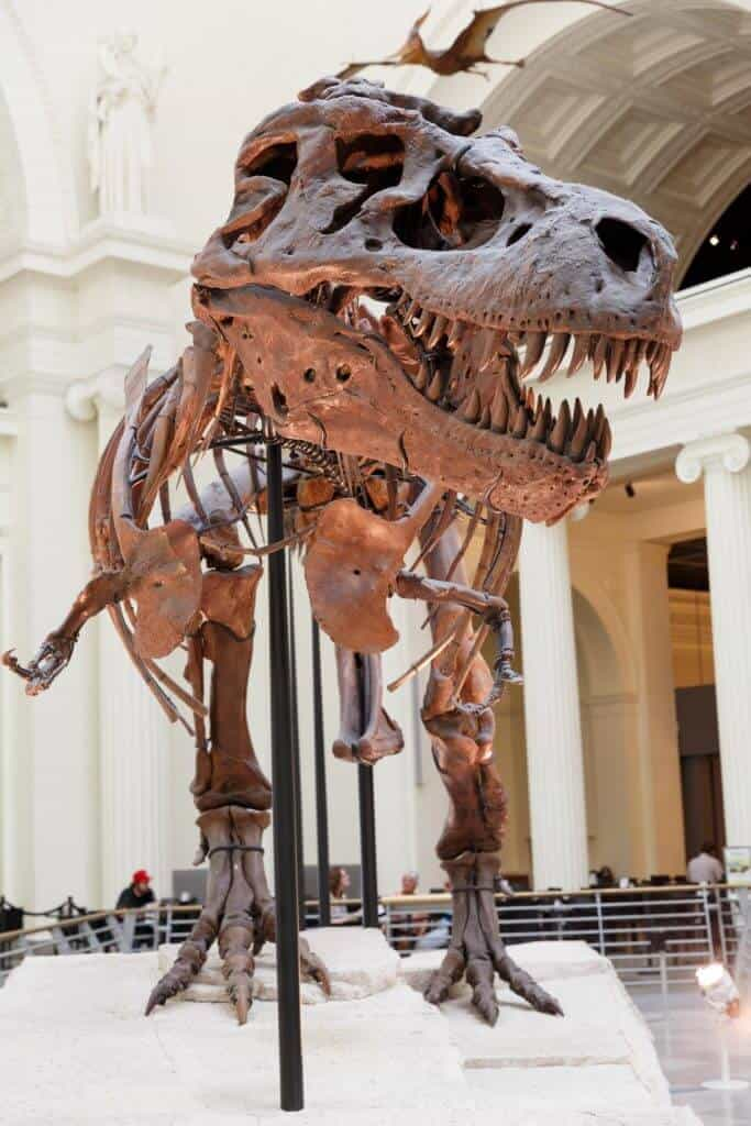 skeleton of a t-rex showing a large jaw and large teeth